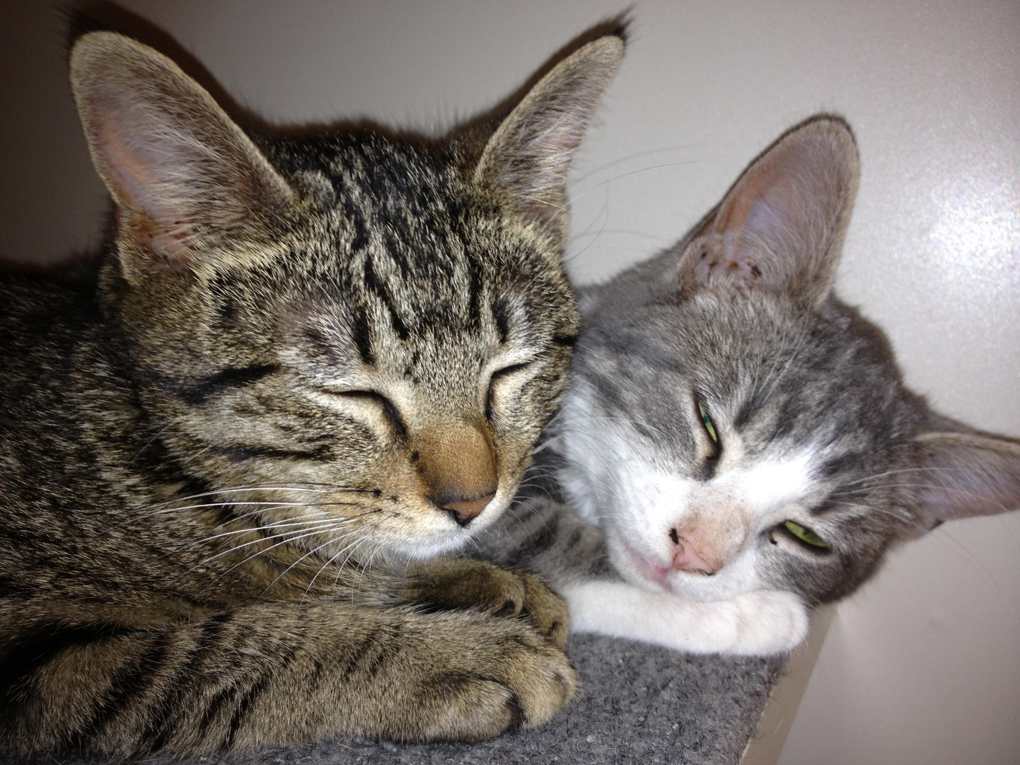 Where To Adopt Cat San Antonio