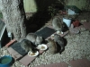 2011 Raccoon _ 4 cats